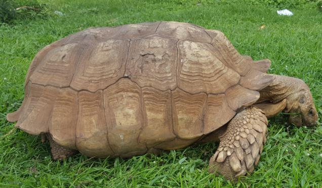 Morta Alagba, la tartaruga
