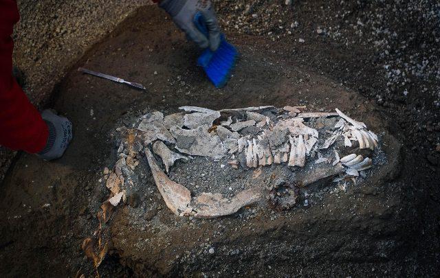 Pompei, importante ritrovamento: è il cavallo bardato di un generale