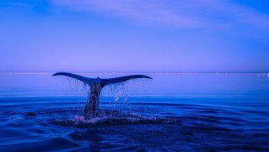Balene: il Giappone riprenderà la caccia