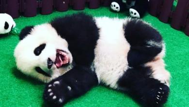 Il cucciolo di panda di Kuala Lumpur. Foto: Instagram