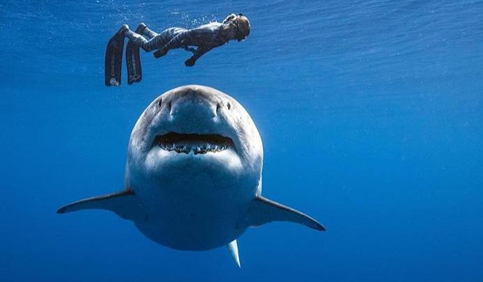 Lo squalo bianco più grande del mondo avvistato e... toccato!