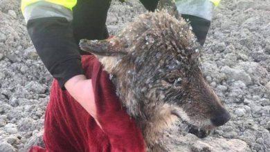 Salvano cane dal ghiaccio, ma è un lupo