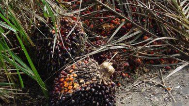 Olio di palma - Foto credit Maksim
