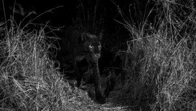 Pantera Nera, raro leopardo nero melanico in Africa