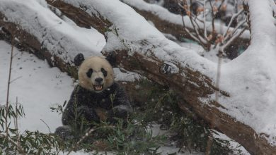 Panda nella neve a Washington