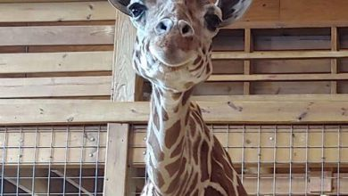 Baby giraffa April