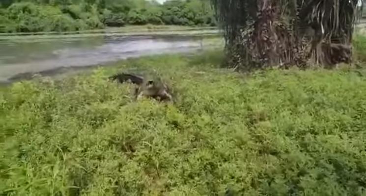 Australia, all'amo abbocca un coccodrillo