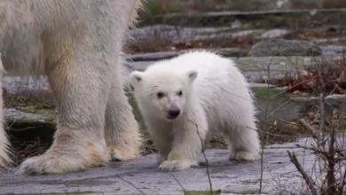 Video Cucciolo di Orso polare allo Zoo di Berlino