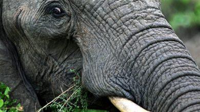 bracconiere elefante leoni sudafrica