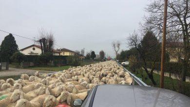 Pecore padova transumanza day