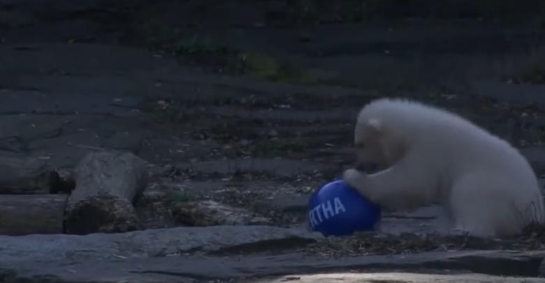 hertha orso bianco