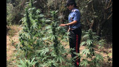 Aspromonte marijuana