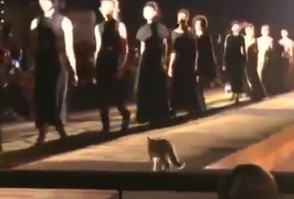 Marrakech, gatto in passerella