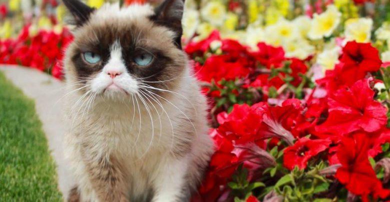grumpy cat gatto