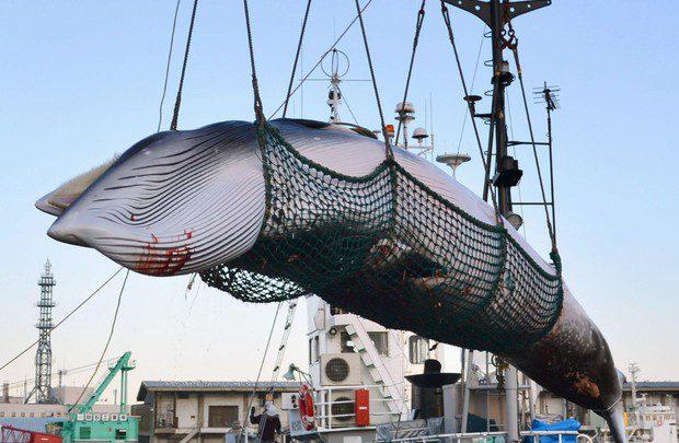 Caccia alle balene - Foto Kyodo News