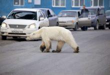Orso polare Norilsk