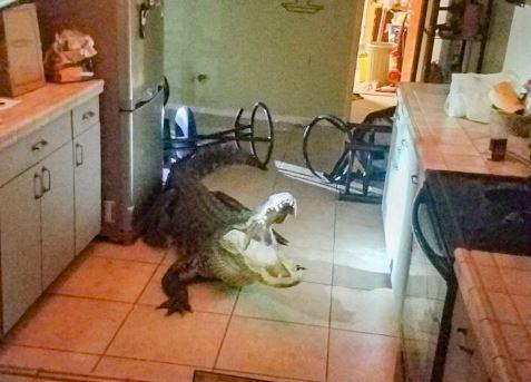 coccodrillo in casa video