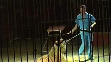 domatore tigre circo orfei
