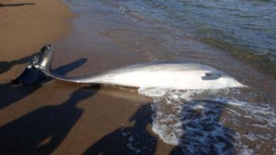 Moria di Delfini in Toscana - Foto ANSA