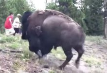 bisonte bimba yellowstone video