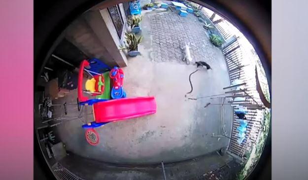 cane cobra video