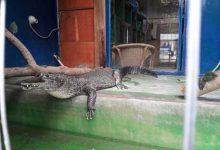 coccodrillo sardegna