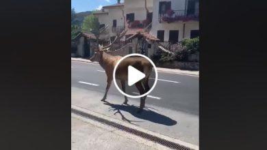 Abruzzo cervo