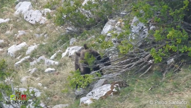 Abruzzo orso