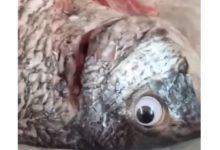 Kuwait pesce occhi finti