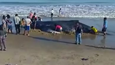 balena perù video