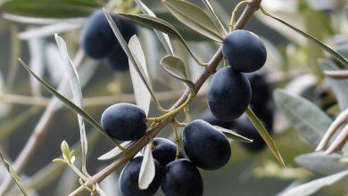 xylella salento olive olio