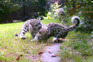 Cuccioli di leopardo delle nevi nati nel Novarese