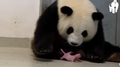 Berlino mamma panda