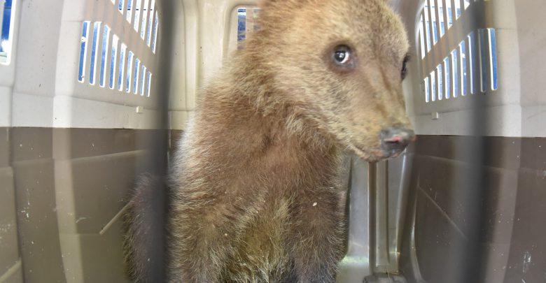 cucciolo orso Abruzzo