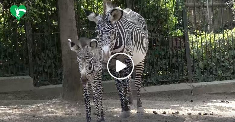 Roma Zebra