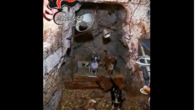 chihuahua, allevamento abusivo