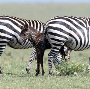 zebra a pois foto 3