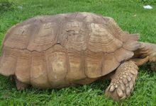 tartaruga muore nigeria record