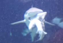 Anversa squalo