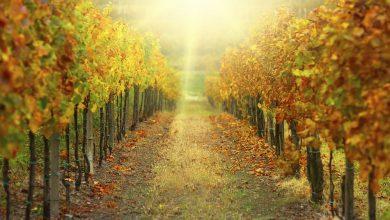 vigne