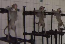 scimmie laboratorio video