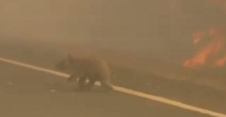 koala incendio australia video